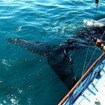 Boat-based whale watching in Mossel Bay with Romonza Boat Trips (Image courtesy Romonza)