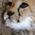 Another Successful Breeding Effort at Cango Wildlife Ranch