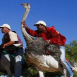 Bird-riding loses lustre in Oudtshoorn