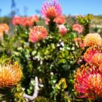 Fynbos – the unassuming tourist attraction