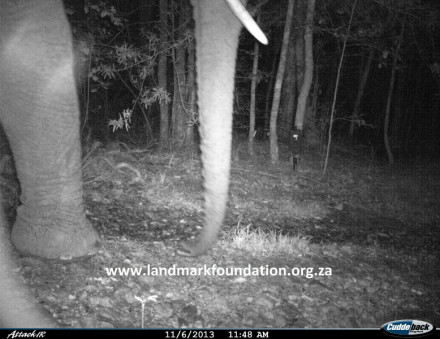 Knysna elephant on trap camera