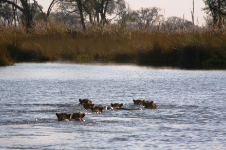 Okavango Swamp Lions, Photograph courtesy of Dr Karen Ross