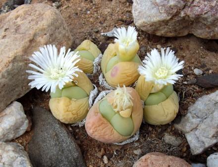 Gibbaeum heathii (Bababoudjies / Baby's Bum) Courtesy of Louis Jordaan.