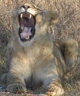 Yawning lion Photo Anthea Myburgh