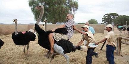 Ride an Ostrich in Oudshoorn
