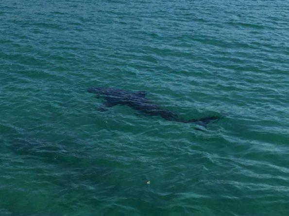 White Shark close in-shore at Plettenberg Bay (photo taken during April)