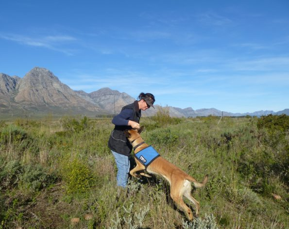 Vicki Hudson, CapeNature Ecological Co-ordinator and Brin of the Conservation Detection Dog (CDD) project