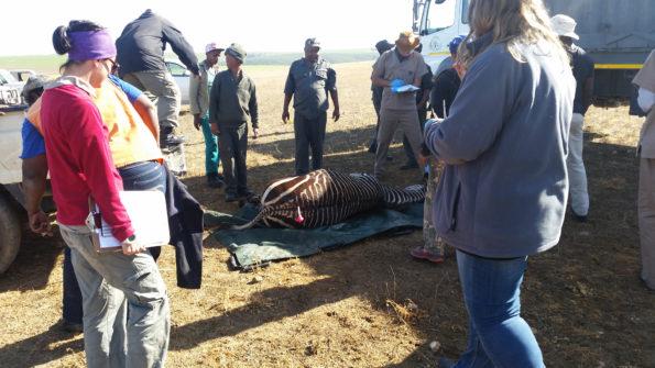 Darted Cape mountain zebra